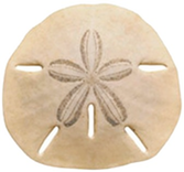 Picture of a Sand Dollar